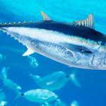 plavoperajna-tuna-880x495