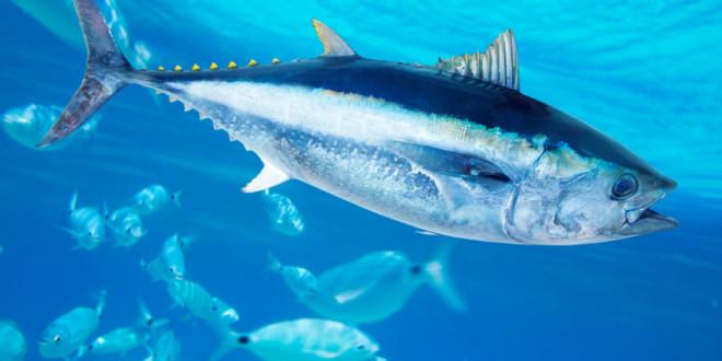 Pravilnik o ribolovu plavoperajne tune (Thunnus thynnus) udičarskim alatima i uvjetima i kriterijima za ostvarivanje prava na dodjelu individualne udičarske kvote