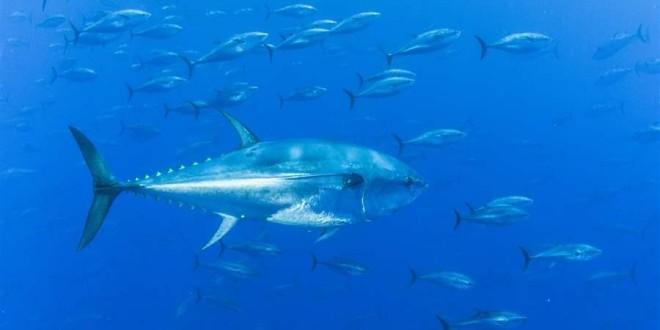 Pravilnik o sljedivosti za plavoperajnu tunu i igluna